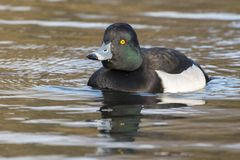 A tufted duck on Southampton Common royalty free stock photo