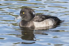 A tufted duck Stock Photo