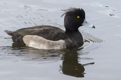 A tufted duck royalty free stock photography