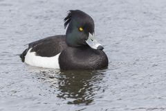 A tufted duck on the Cemetery Lake. Southampton Common, Hampshire, UK stock image