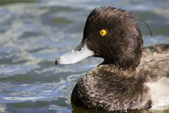 Tufted duck. Close up of head of a tufted duck Royalty Free Stock Photo