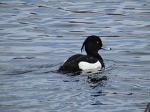 The tufted duck stock photo