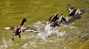 Tufted Duck, Ducks, Play, Action Stock Photo
