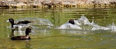Tufted Duck, Ducks, Play, Action Royalty Free Stock Photography