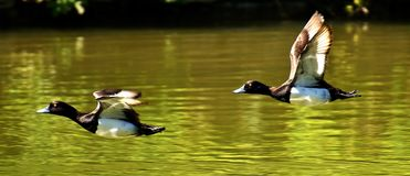 Tufted Duck, Ducks, Play, Action Royalty Free Stock Image
