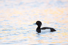Tufted Duck. Male Tufted Duck swimming, beautiful pink yellow evening light Stock Photos