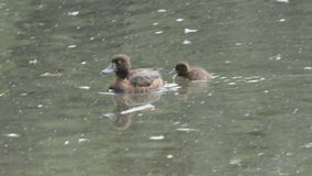 Tufted duck family, Aythya fuligula stock footage
