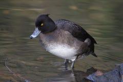 Tufted Duck female - Aythya fuligula Royalty Free Stock Image
