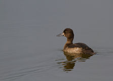 Tufted duck female Royalty Free Stock Photography