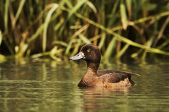 Tufted duck female Stock Photos