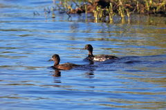 Tufted duck. Female and male on water Stock Photos