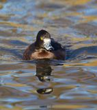 Tufted Duck Stock Photography