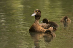 Tufted duck female. Tufted  duck female at WWT center, London Royalty Free Stock Photos