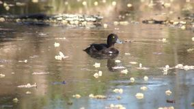 Tufted Duck. Floating on the water stock footage
