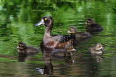 Tufted duck floats with ducklings on the lake Stock Photo