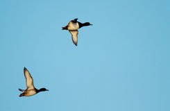 Tufted duck flying Royalty Free Stock Photos