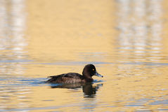 Tufted Duck in gold. Female Tufted Duck swimming in golden light Royalty Free Stock Images