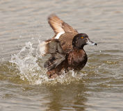A Tufted Duck having fun Royalty Free Stock Photo