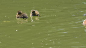 Tufted duck and her chicks. Pretty female tufted duck and her lively chicks on park lake stock footage