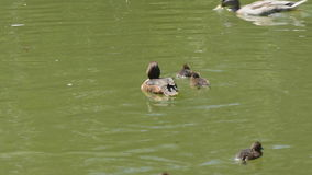 Tufted duck and her chicks. Pretty female tufted duck and her lively chicks on park lake stock video