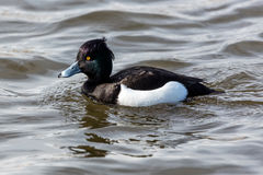 Tufted duck in the lake Tjornin, Reykjavik, Iceland. Easily recognizable by its purplish-black/white appearance and the tuft on the head Royalty Free Stock Image