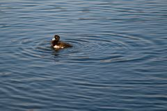 Tufted Duck. A lone tufted duck swimming in Osaka Castle`s moat in the early morning sun Royalty Free Stock Photos