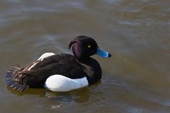 Tufted duck male. Tufted duck swimming in the water on early morning Stock Image