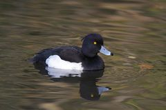 Tufted Duck Male - Aythya fuligula. Male tufted duck on a lake Stock Image