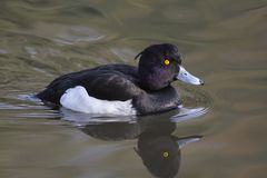 Tufted Duck male - Aythya fuligula. Male tufted duck on a lake Stock Images