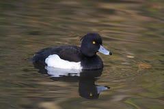 Tufted Duck Male - Aythyafuligula Fotografering för Bildbyråer