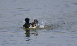 Tufted Duck male flapping its wings on the water. Creating splashes Royalty Free Stock Photos