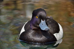 Tufted Duck male on pond. Tufted Duck (Aythya fuligula) male on pond,Valencia,Spain Stock Photography