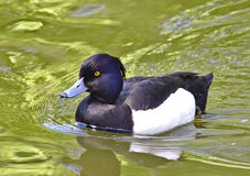 Tufted duck. Male tufted duck swimming in a pond Stock Photography
