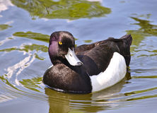Tufted duck. Male tufted duck swimming in a pond Royalty Free Stock Image