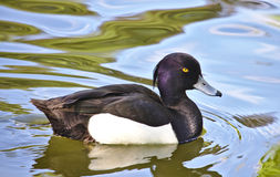 Tufted duck. Male tufted duck swimming in a pond Royalty Free Stock Photography