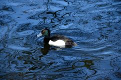Swimming male tufted duck. Tufted duck male swimming in a pond Royalty Free Stock Photo