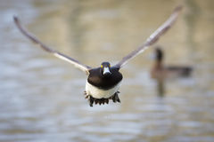 Tufted Duck. A male Tufted Duck takes off into flight head on Stock Photos
