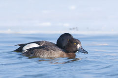 Tufted Duck pair. On water Royalty Free Stock Images