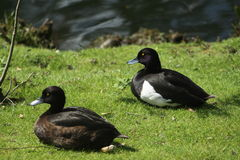 Tufted duck. A pair of ducks resting on the grass in the wetlands Royalty Free Stock Image