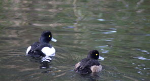 Tufted duck pair. Pair tufted duck swimming in the water in the forest, in the Netherlands Royalty Free Stock Photo