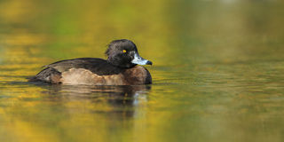 Tufted Duck Stock Photos