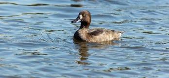 Tufted Duck, Pochard, Aythya fuligula Royalty Free Stock Photo