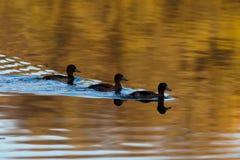 Tufted Duck, Pochard, Aythya fuligula Stock Photos