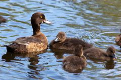 Tufted Duck, Pochard, Aythya fuligula Stock Photography