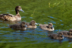 Tufted Duck, Pochard, Aythya fuligula Stock Photo