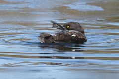A tufted duck preening royalty free stock photos