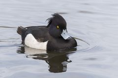 A tufted duck and reflection stock photos