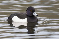 A tufted duck and reflection royalty free stock photo