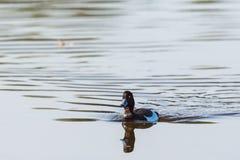 Tufted duck swim Stock Images