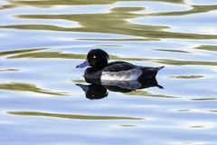 Tufted Duck swimming - Bedfont Lakes Country Park. London Stock Photo